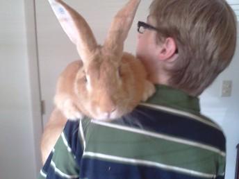 Flemish Giant Rabbit © Grimes Family Fluffers