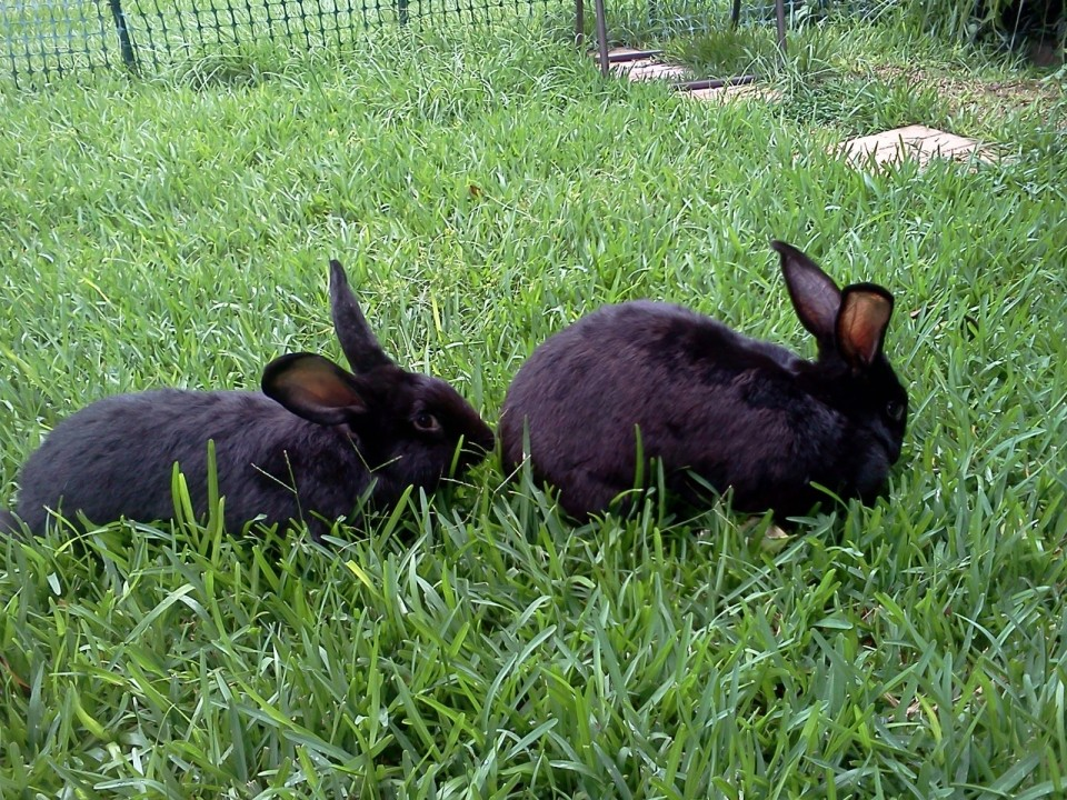 Flemish Giant Rabbits © Grimes Family Fluffers
