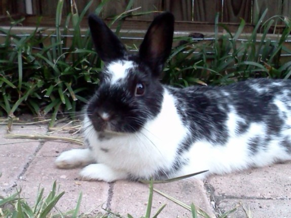 One of our original bunnies. Matriarch of the rabbitry.