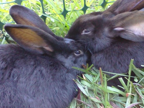 Not all rabbits get along together as well, but SweetPea and Trudy enjoy snuggle time.