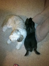 Trudy - holding her own, inch for inch - with our Bearded Collie, Allie.