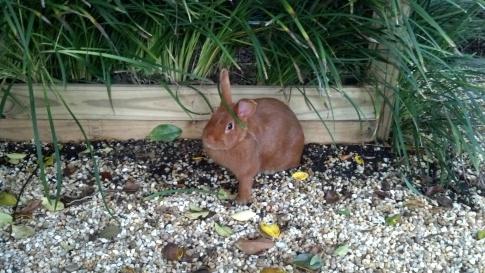 Thrianta Rabbits © Grimes Family Fluffers