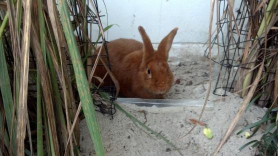 Thrianta Rabbit doe Sophie © 2013 Grimes Family Fluffers