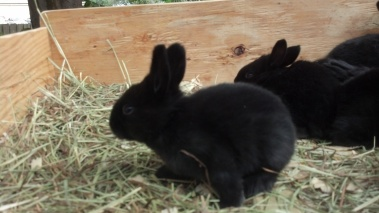 Flemish Giant Rabbits © 2013 Grimes Family Fluffers