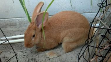 Lily (Twisted Oaks Rabbitry) enjoying the tea garden
