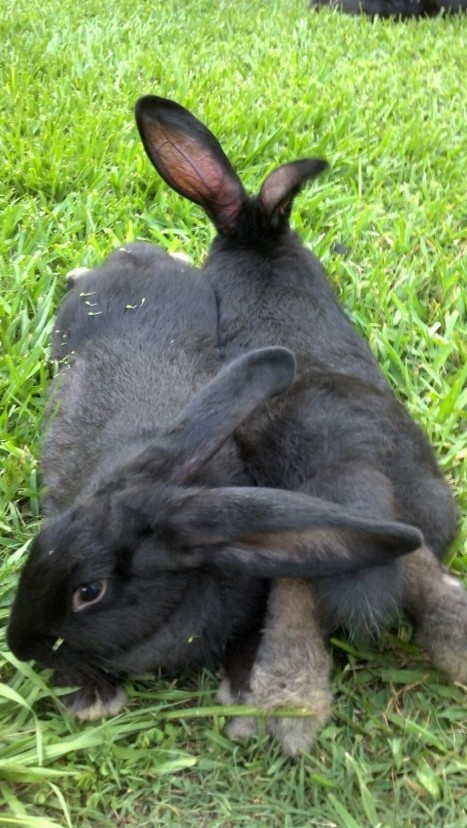 Black Flemish Giant Does