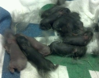 Sweet Pea's litter at only 3 days old