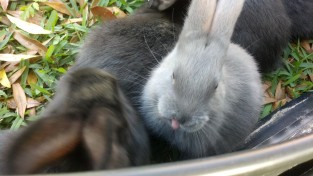 Even baby bunnies stick their tongues out at the camera